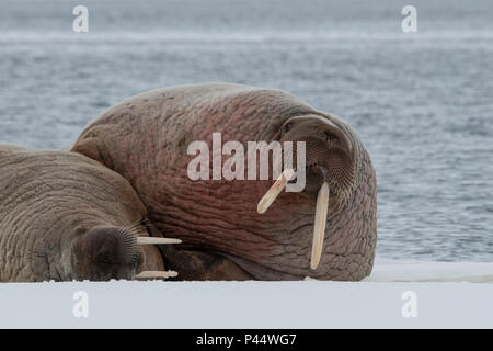 Norway, Svalbard, Nordaustlandet, Austfonna. Walrus (Odobenus rosmarus) on ice. - Stock Photo