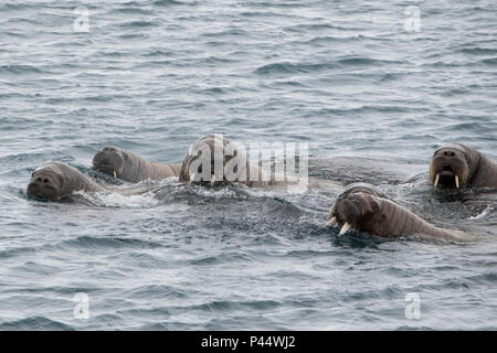 Norway, Svalbard, Nordaustlandet, Austfonna. Walrus (Odobenus rosmarus) swimming near icecap. - Stock Photo