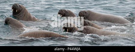 Norway, Svalbard, Nordaustlandet, Austfonna. Walrus (Odobenus rosmarus) swimming. - Stock Photo