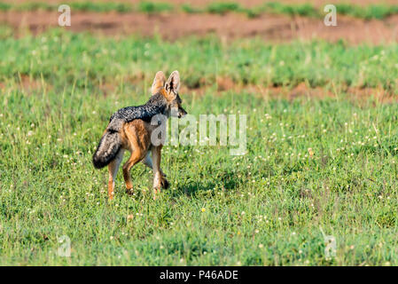Black-backed jackal or Canis mesomelas on grass - Stock Photo