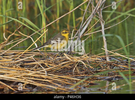Citrine Wagtail (Motacilla citreola citreola) adult female standing on cut reed  Hebei, China       May 2016 - Stock Photo