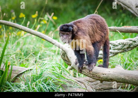 Tufted Capuchin Monkey also known as brown capuchin, black-capped capuchin or pin monkey is a New World primate from South America. - Stock Photo