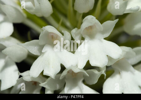 Rare white flowers - albiflora - version of wild pyramidal orchid (Anacamptis pyramidalis). Flower detail. Serra da Arrabida, Portugal. - Stock Photo
