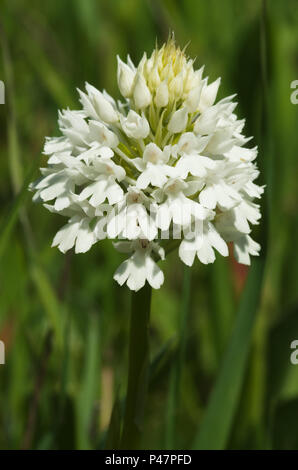Rare white flowers inflorescence - albiflora - version of wild pyramidal orchid (Anacamptis pyramidalis) over a natural green out of focus background. - Stock Photo