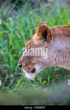 Close up headshot of lioness in hunting mode in South Africa - Stock Photo