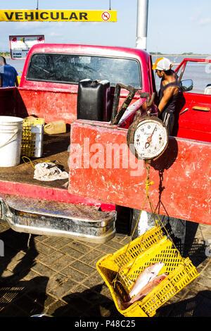 LA VELA DE CORO, FALCÓN, VENEZUELA - 18.05.2012: MERCADO DE PEIXES - Vendedor pesando peixe com balança de mola, ou balança de peixeiro, em mercado de peixes. (Foto: Ricardo Ribas / Fotoarena) - Stock Photo