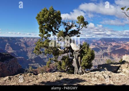 an old pine growing on an edge of a cliff at grand canyon - Stock Photo