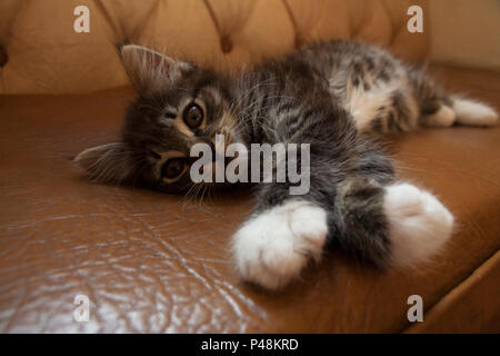 Cute small kitten with brown grey fur lying on leather couch - Stock Photo