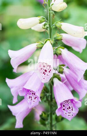 A foxglove Excelsior Group (Digitalis purpurea Excelsior Group) - Stock Photo