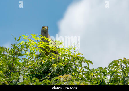 Crested Hawk Eagle perched on a tree against a blue sky. - Stock Photo