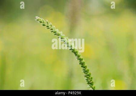 A crested dog's-tail grass (Cynosurus cristatus) seed head - Stock Photo