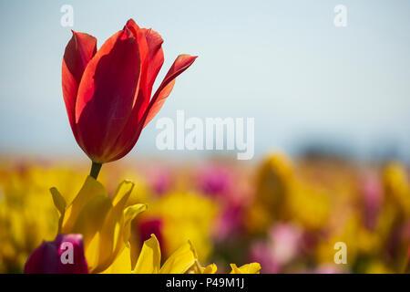 Colorful tulips, Tulip Fest, Wooden Shoe Tulip Farm, Woodburn, near Portland, Oregon USA - Stock Photo