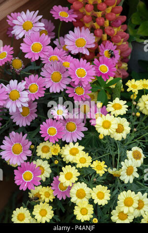 Argyranthemum frutescens. Pink and yellow Marguerite daisy flowers on a display at a flower show. UK - Stock Photo