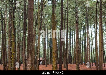 Portugal, Azores, Pico Island, Santa Luzia, Reserva Florestal de Santa Luzia, forest park - Stock Photo
