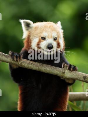 Very cute red panda, Ailurus fulgens - Stock Photo