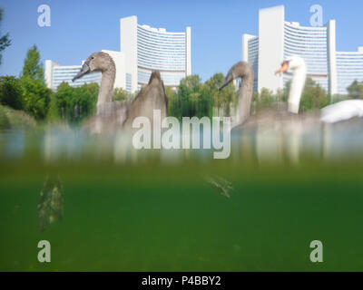 Vienna, family mute swan cygnets (Cygnus olor) at lake Kaiserwasser, Vienna International Center (UNO), 22. Donaustadt, Wien, Austria - Stock Photo