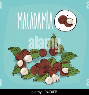 Set of isolated plant Macadamia nuts herb with leaves, Simple round icon of Macadamia nuts on white background, Lettering inscription Macadamia - Stock Photo