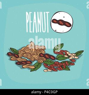 Set of isolated plant Peanut nuts herb with leaves, Simple round icon of Peanuts on white background, Lettering inscription Peanut - Stock Photo