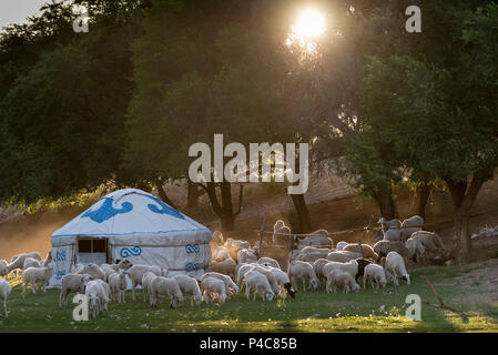A flock of sheep are herded into a nighttime corral at summertime grassland camp, Inner Mongolia, China - Stock Photo