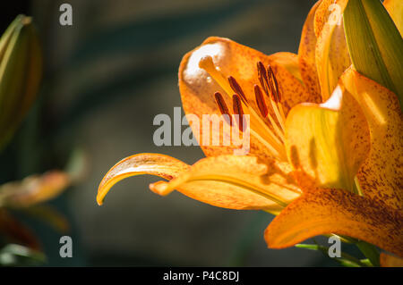 Lily, beautiful lily in the garden - Stock Photo