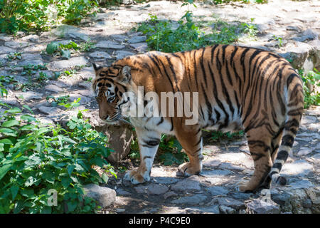 Siberian Tiger in the wilderness on green backgroung - Stock Photo