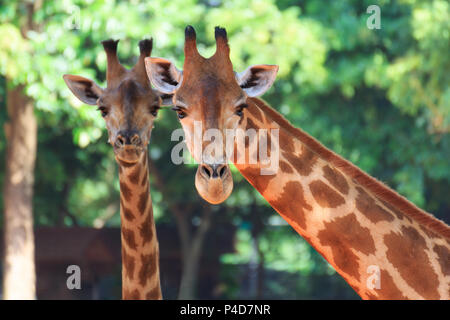 Portrait with two head giraffe on tree background.