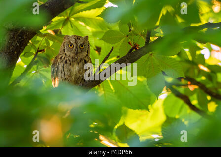 Scops Owl - Otus scops, beautiful small owl from European forests and woodlands, Eastern Rodope Mountains, Bulgaria. - Stock Photo