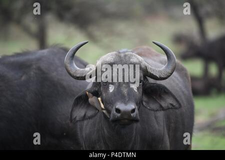 Tick bird on ear of African Cape Savannah Buffalo at Mahali Mzuri in the Olare Motorogi Conservancy, Maasai Mara, Kenya, East Africa. Syncerus caffer - Stock Photo
