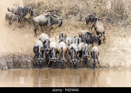 A row of wildebeest drink from the Mara River during the Great Migration in the Masai Mara, Kenya - Stock Photo