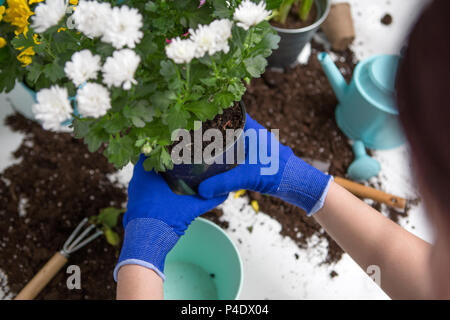Photo on top of man's hands in blue gloves transplanting flower - Stock Photo