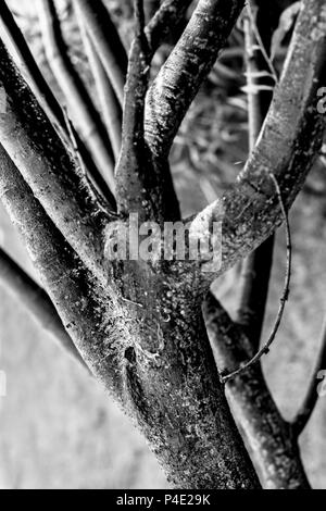 Thick branches of tree in black and white tones - Stock Photo