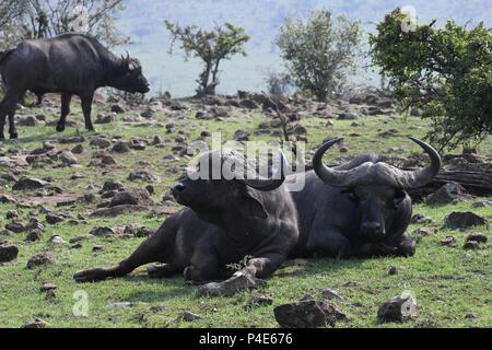 African Cape Savannah Buffalo at Mahali Mzuri in the Olare Motorogi Conservancy, Maasai Mara, Kenya, East Africa. Syncerus caffer (Cape buffalo) - Stock Photo