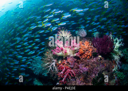 Coral reef scenery with soft corals [Dendronephthya sp.]. a mixed school of Yellowback fusiliers [Caesio teres] and Scissor-tailed fusilier [Ceasio ca - Stock Photo