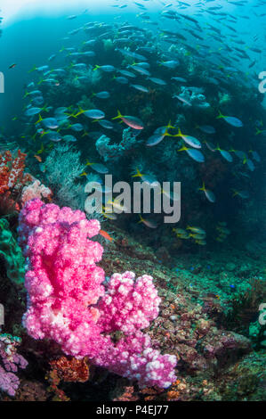 Coral reef scenery with soft corals [Dendronephthya sp.] and a school of Yellowback fusiliers [Ceasio teres].  West Papua, Indonesia. - Stock Photo