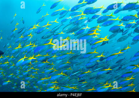 Mixed school of Scissor-tailed fusiliers [Caesio caerulaurea] and Yellowback fusiliers [Caesio teres] over coral reef.  West Papua, Indonesia. - Stock Photo