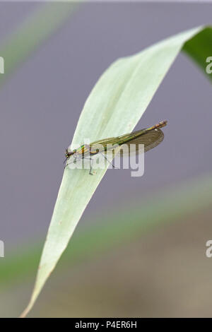 Banded Demoiselle (Calopteryx splendens) - Stock Photo