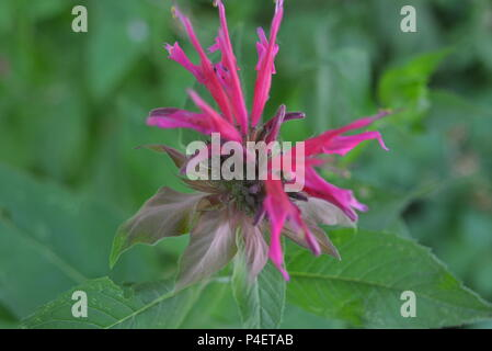 Red ruta ukrainian national monarch flower purple raspberry on a green leaf background - Stock Photo