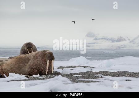 Norway, Svalbard, Nordaustlandet, Austfonna. Walrus (Odobenus rosmarus) hauled out on rocky beach. - Stock Photo