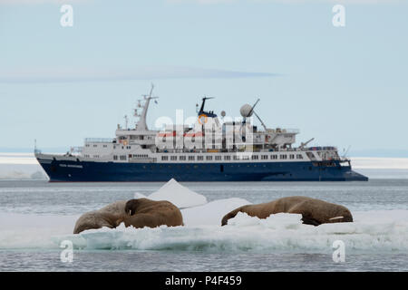 Norway, Svalbard, Nordaustlandet, Austfonna. Walrus (Odobenus rosmarus) with Quark's expedition ship, Ocean Adventurer, in the distance. - Stock Photo