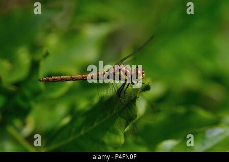 Common Darter Dragonfly uk - Stock Photo
