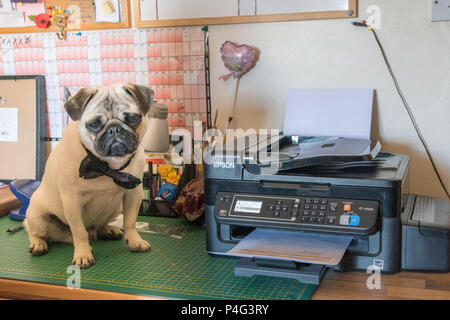 Pug Pup sitting next to printer dressed up for bring your dog to work day - Stock Photo