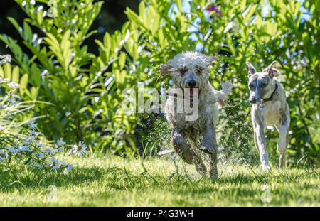 Mansfield Woodhouse, UK. 22 June 2018.  Has the temperpure rises a Cockapoo dog enjoys a splash in a garden pond to cool down during this hot summer weather Alan Beastall/Alamy Live News. - Stock Photo