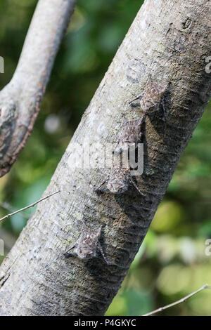 Adult proboscis bats, Rhynchonycteris naso, on tree in Yanallpa Caño, Ucayali River, Loreto, Peru - Stock Photo