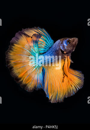 Betta fish (Siamese fighting fish),blue and yellow isolated on black. The colourful also known as Thai Fighting Fish or betta, is a species in the gou - Stock Photo