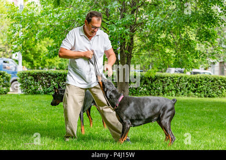 two black dobermans. Man walks in the park two pureblood Dobermanns - Stock Photo