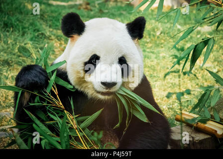 Big panda eating bamboo - Stock Photo