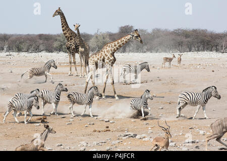 Giraffes, Zebra, and Springbok gather at a watering hole in Etosha National Park to drink in Namibia, Africa - Stock Photo