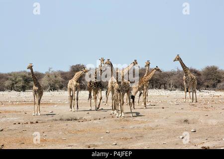 Herd of Giraffes, Etosha National Park, Namibia - Stock Photo