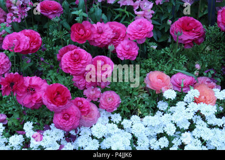A flower bed filled with blooming pink and peach Ranunculus, pink Snapdragons and white Candytuft flowers in full bloom in the spring