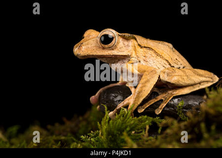 Borneo Eared Frog - Stock Photo